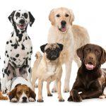 גזע כלבים תשחץ