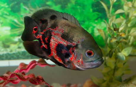 דג אוסקר 7 עובדות מעניינות על אחד הדגים הפופולריים ביותר באקווריום!